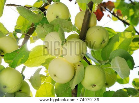 Grope Of White Apples On The Branch