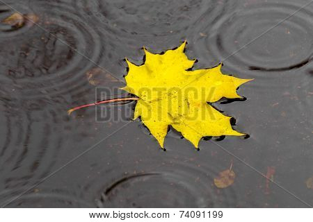 Golden Maple Leaf On The Water