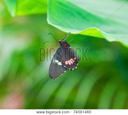 Closeup On Black Butterfly