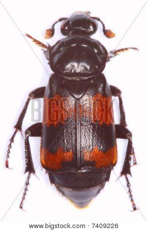 Necrophorus investigator burying beetle