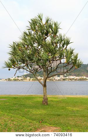 Common Screwpine (pandanus Utilis) Pine Monocot Tree