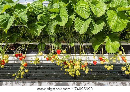 Closeup Strawberries Growing In A Modern Glasshouse