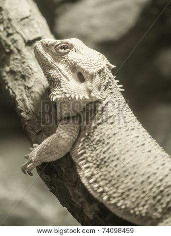 Yellow Bearded Dragon Processed In Duotone