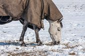 picture of blanket snow  - Horse with blanket grazing in a snowy pasture - JPG