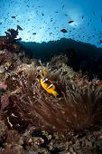 picture of clown fish  - anemone fish aka clown fish and it - JPG