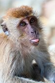 stock photo of macaque  - The portrait of a young monkey a macaque puts out the tongue - JPG