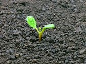 picture of seed bearing  - Young green sprout on brown ground background - JPG