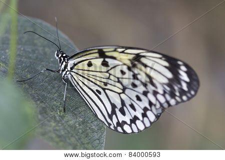 Idea Leuconae butterfly