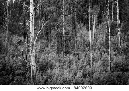 Australian Forest Black And White