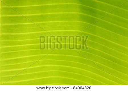Closeup  of Green banana leaf.