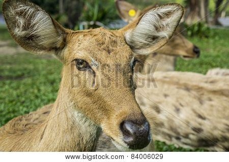 deer Cervidae laydown sleeping concept