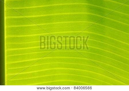 Young banana leaf.
