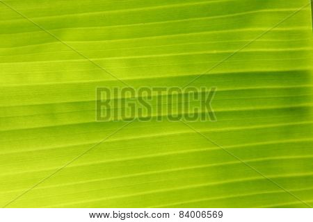 organic banana leaf