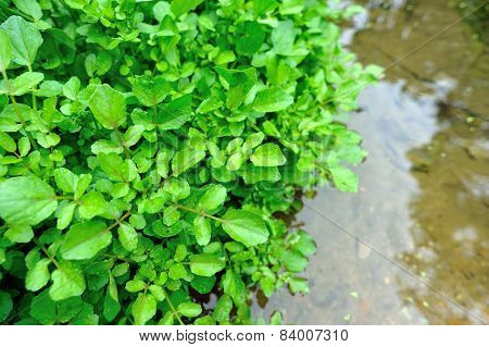 watercress