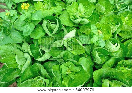 green pak choi crops in growth
