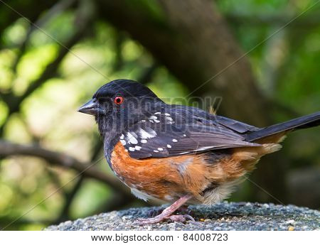 Spotted Towhees bird