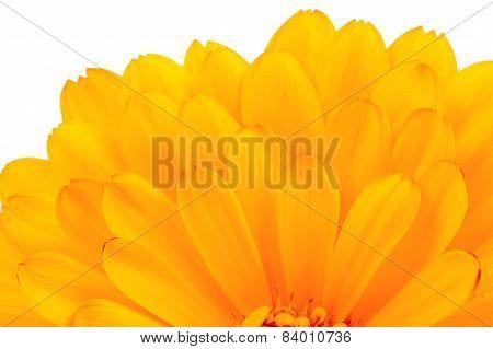Calendula Officinalis (Pot Marigold) Petals Close-up On White Background