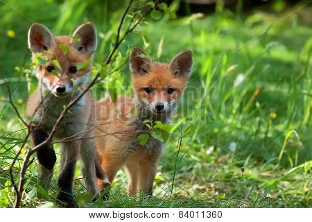 Foxes in the wild