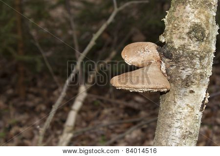 Birch Polypore  - Piptoporus betulinus on Birch tree - Betula pendula.