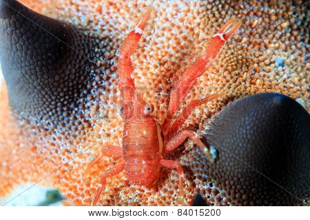 A Tiny Squat Lobster