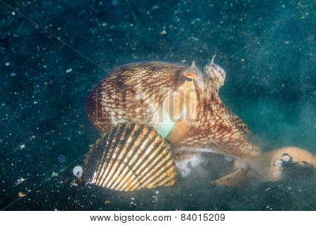 Coconut Octopus Burying Itself In Snad