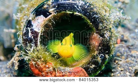 Golden Goby Hiding In A Bottle