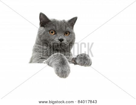 Scottish Cat With Yellow Eyes On A White Background Sits Behind A White Banner