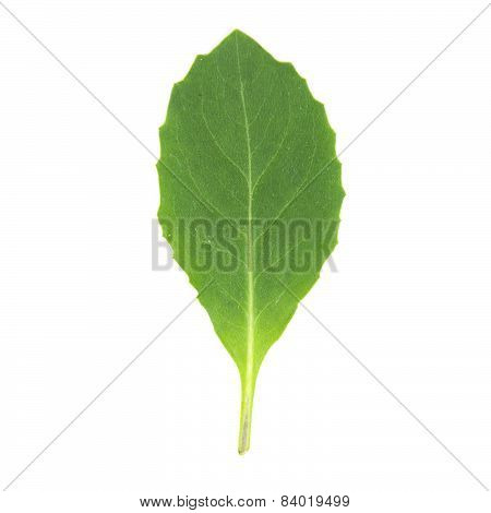 Smooth Green Leaf Jagged Shape