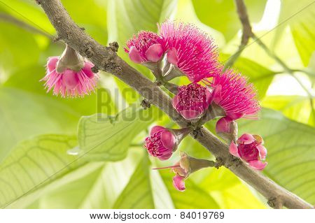 Blossom Pink Rose Apple In Natural