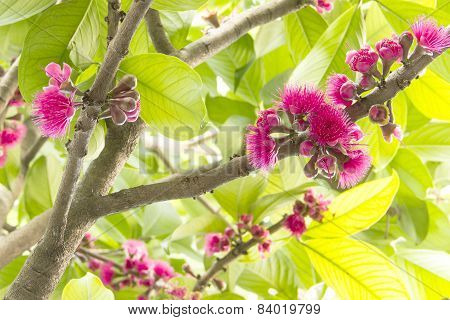 Blossom Pink Rose Apple In Branch
