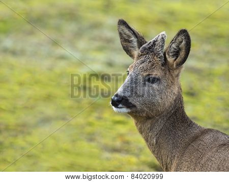 Young Deer Captured In Nature