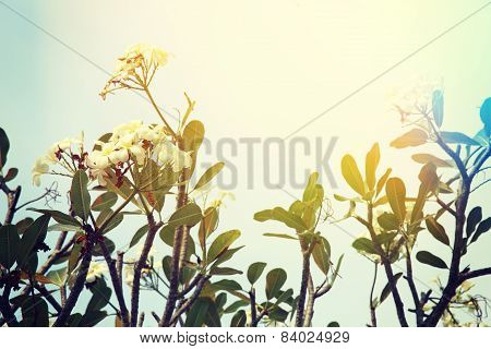 frangipani tree with flowers