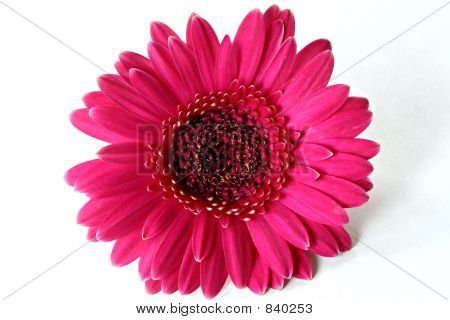 Dark Hot Pink Gerbera
