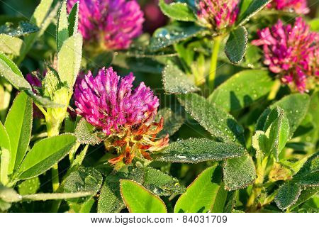 Pink Flowers Of A Clover On A Meadow