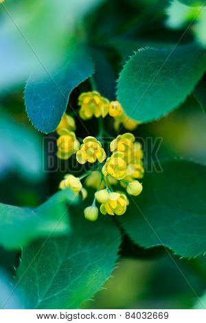 barberry yellow bloom, close-up