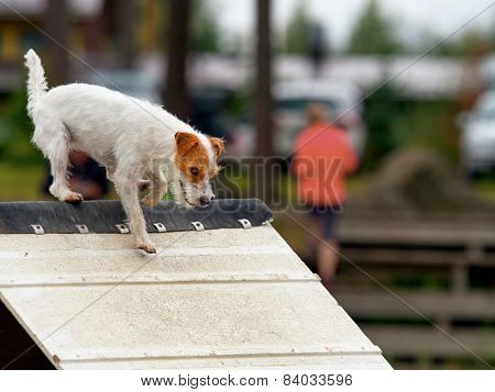 Parson Jack Russel Terrier In Agility