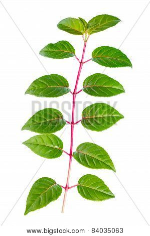 Green Branch Of Sapling Fuchsia Is Isolated On White Background