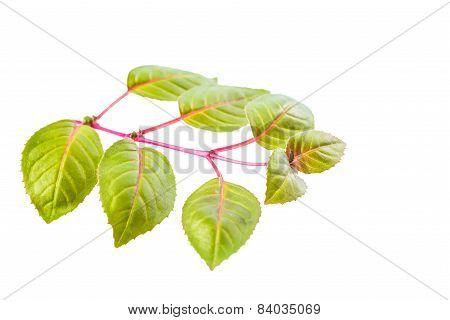 Green Twig Of Sapling Fuchsia Is Isolated On White Background, Closeup