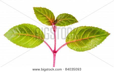 Green Branch Of Sapling Fuchsia With Dew Is Isolated On White Background, Closeup