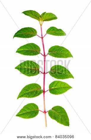Green Branch Of Seedling Fuchsia With Drops Is Isolated On White Background