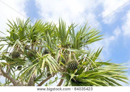 Screw pine tree