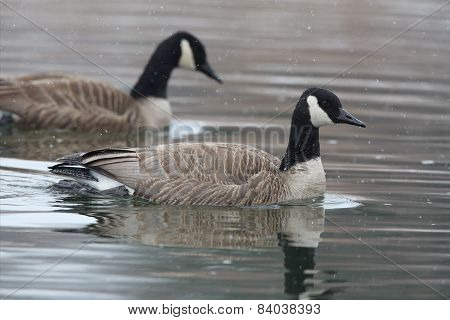 Pair Of Canada Geese Swimming On A River Amid Falling Snow