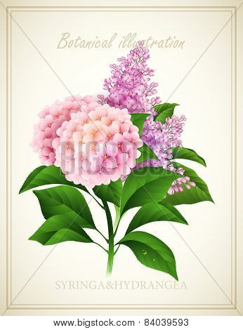 Syringa and Hydrangea. Botanical Vector illustration