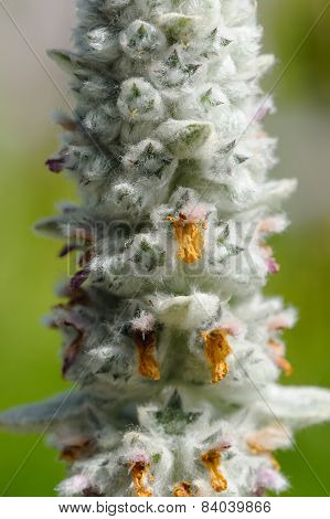 Lamb's Ear (Stachys Byzantina) Flowering Spike Close-up