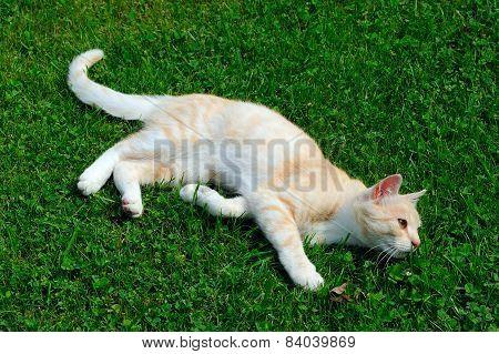 Cute Cat Lying On Green Grass