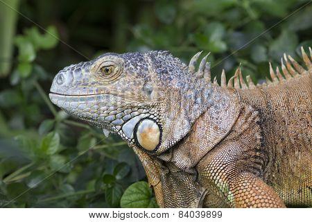 Iguana looking Sideways