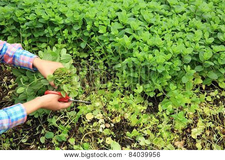 hands with scissors picking mint leaves in garden