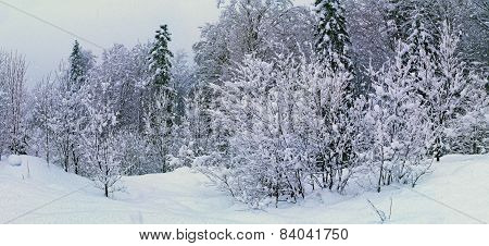 Winter Forest Under Snow