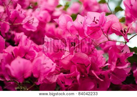 Pink Blossom Of Bougainvillea Plant Close Up