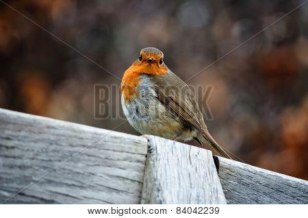 Portrait Of A Robin Redbreast (erithacus Rubecula).jpg